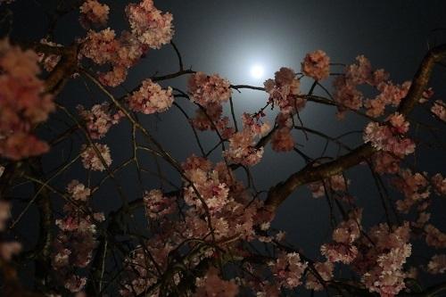 我が家の桜5