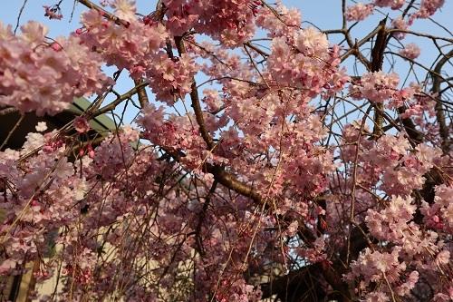 我が家の桜6