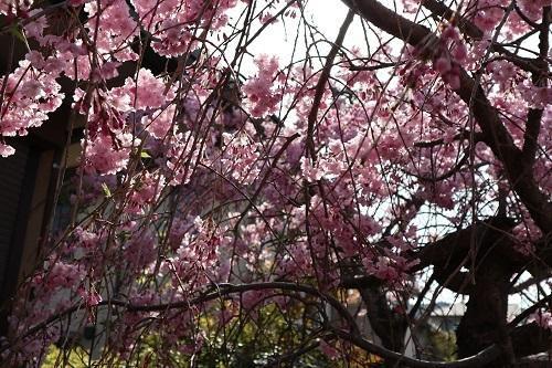 我が家の桜7