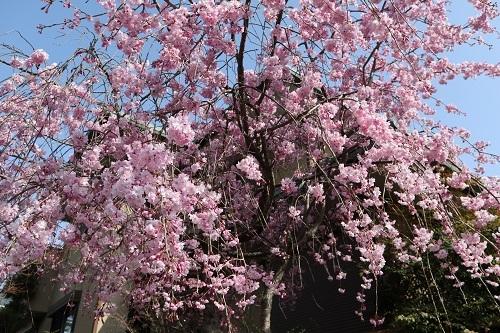 我が家の桜8