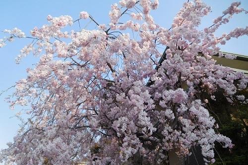 我が家の桜9