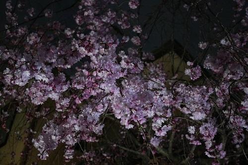 我が家の桜ー夜桜2