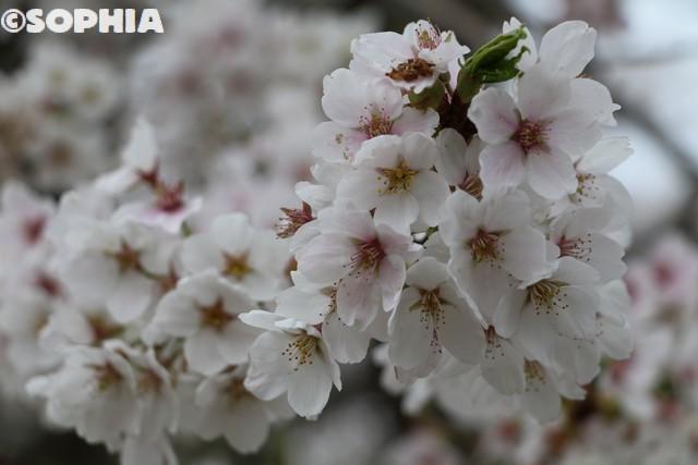 三春滝桜2018