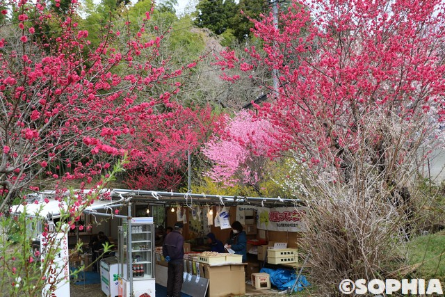 紅枝垂地蔵ザクラ 花桃