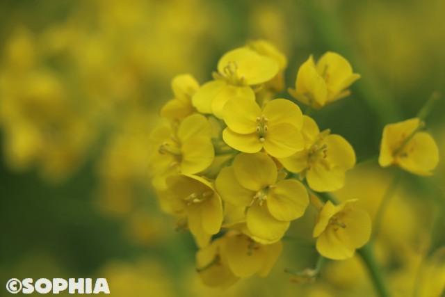 上石の不動ザクラ 菜の花