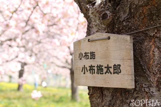千曲川堤防の桜堤(2018.4.21)