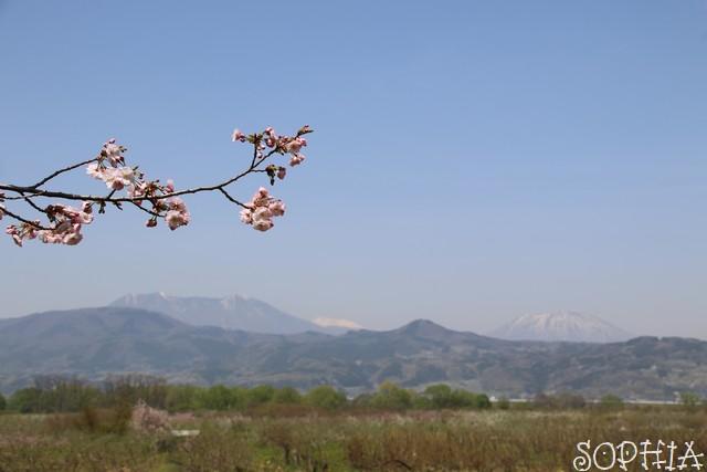 千曲川堤防の桜堤(2018.4.21)北信五岳を望む
