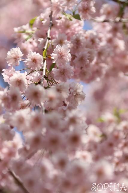 咲け咲け!御衣黄