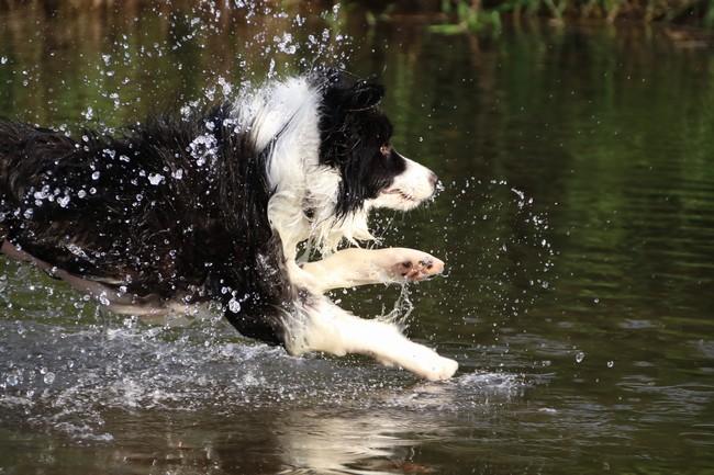 水上飛行犬