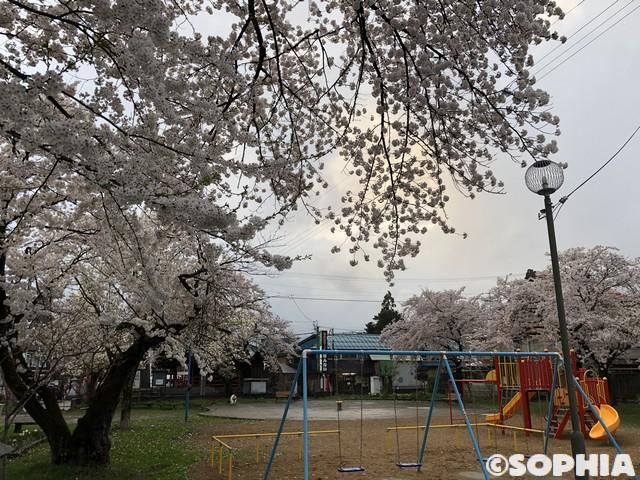 御清水公園 桜満開