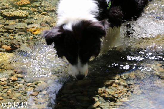 大源太川の水を飲むDawn太