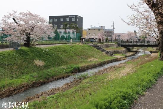 青田川の桜