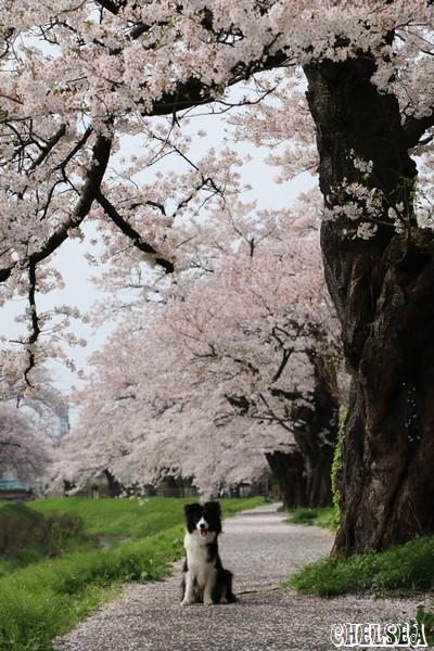 青田川の桜とDawn太
