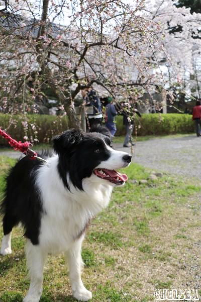 本丸の桜とDawn太