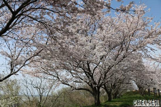 海の見える桜公園