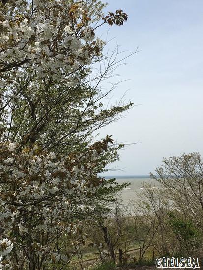 桜と日本海