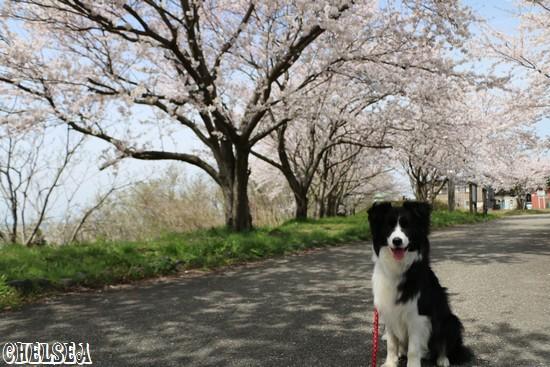 Dawn太と桜