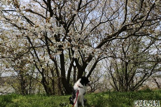 桜とDawn太