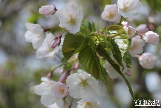 日本海の見える公園に咲く桜