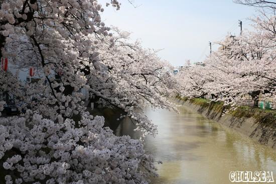 福島江満開の桜