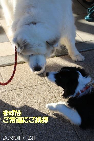 Dawn太と白いモフモフ犬