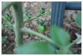 我が家のミニトマト