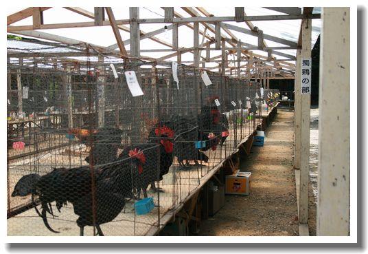 鶏の品評会
