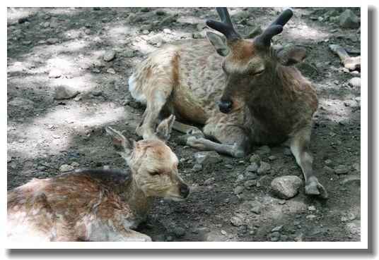 昼寝中の子鹿