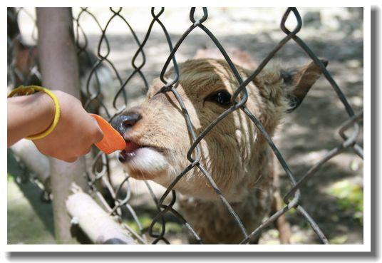 人参を食べる子鹿