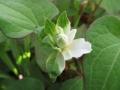 八重咲のドクダミ 斑入り