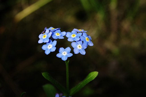forget-me-not-316354__340.jpg