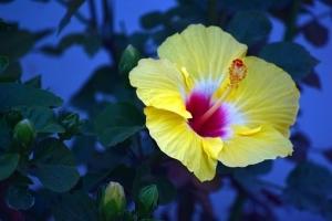 hibiscus-3260264__340.jpg