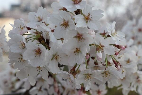 2018.04.04 満開の桜(長岡天満宮)③-4