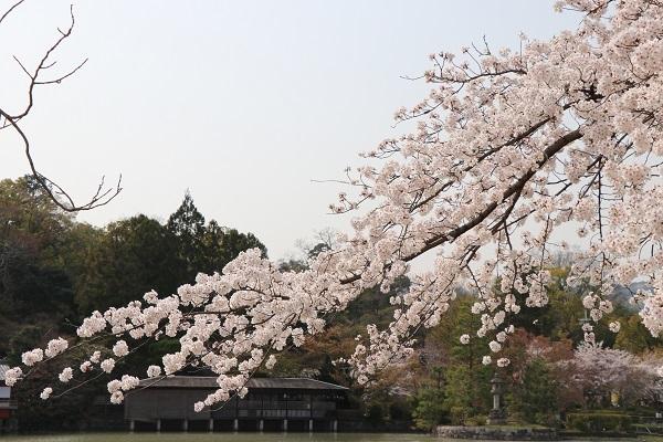 2018.04.04 満開の桜(長岡天満宮)③-5