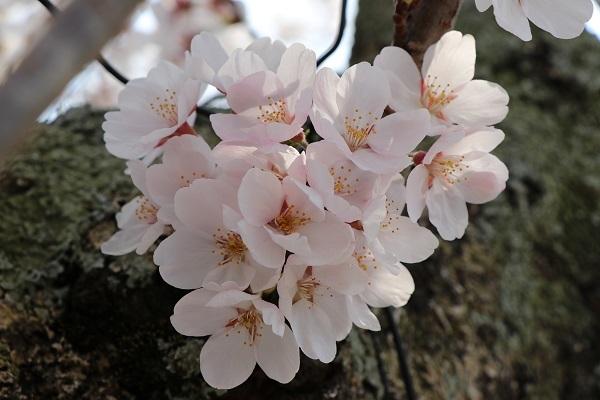 2018.04.04 満開の桜(長岡天満宮)③-6