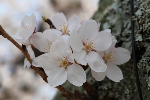 2018.04.04 満開の桜(長岡天満宮)③-7