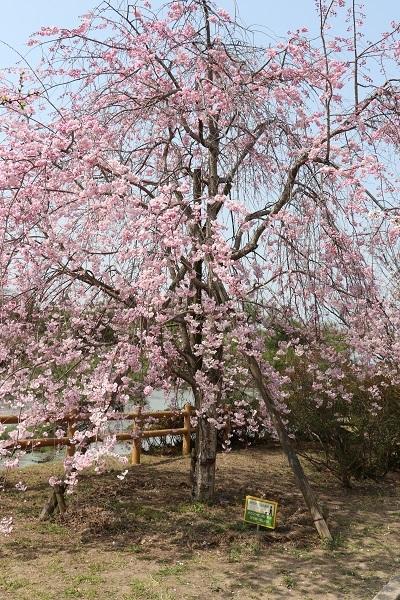 2018.04.04 満開の桜(長岡天満宮)③-8