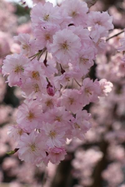 2018.04.04 満開の桜(長岡天満宮)③-9