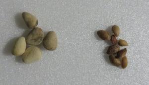 松の実サイズ比較