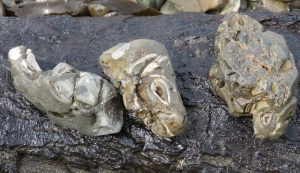 無煙浜 貝化石