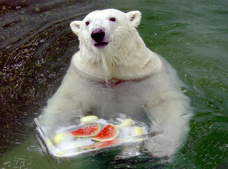 白熊 酷暑