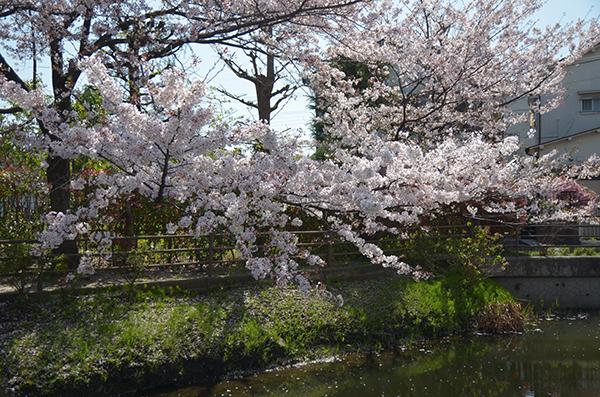 さんぽ道桜