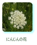 にんじんの花