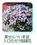 某せんべい本店入口のガク紫陽花