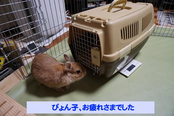 ぴょん子180527_13