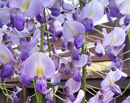 藤の花jpg