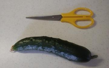 初収穫胡瓜