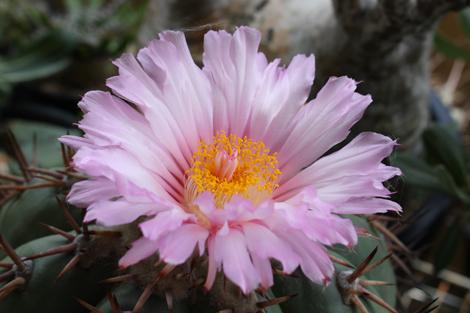 20180713太平丸の花