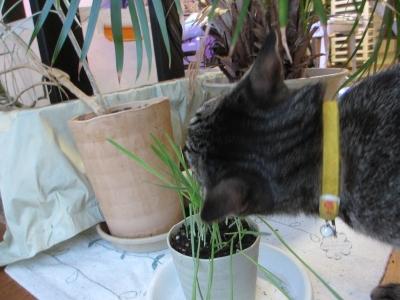 猫草ガフ食い