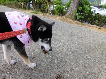 2018島花朝のお散歩11